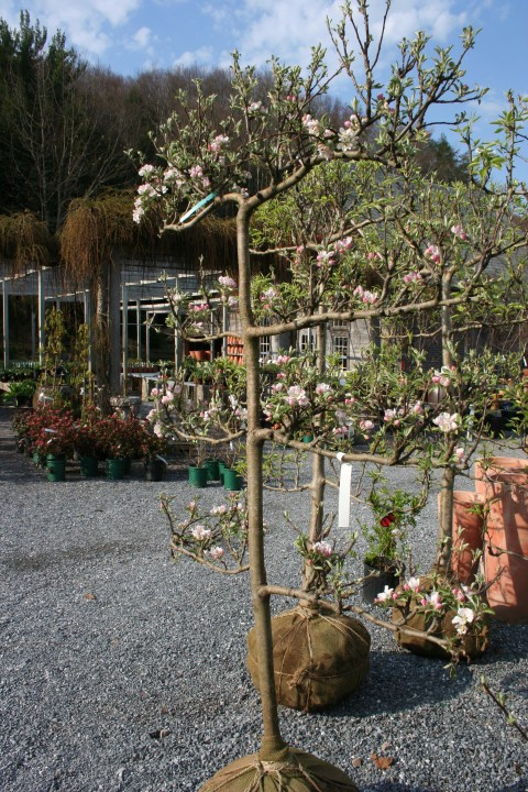 espaliered-apple-tree