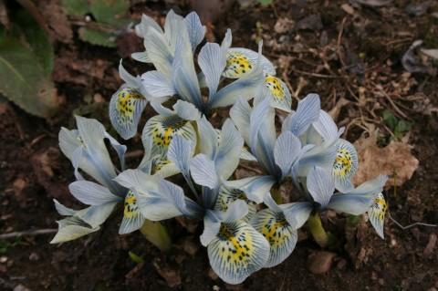iris histrioides 'Katherine Hodges'
