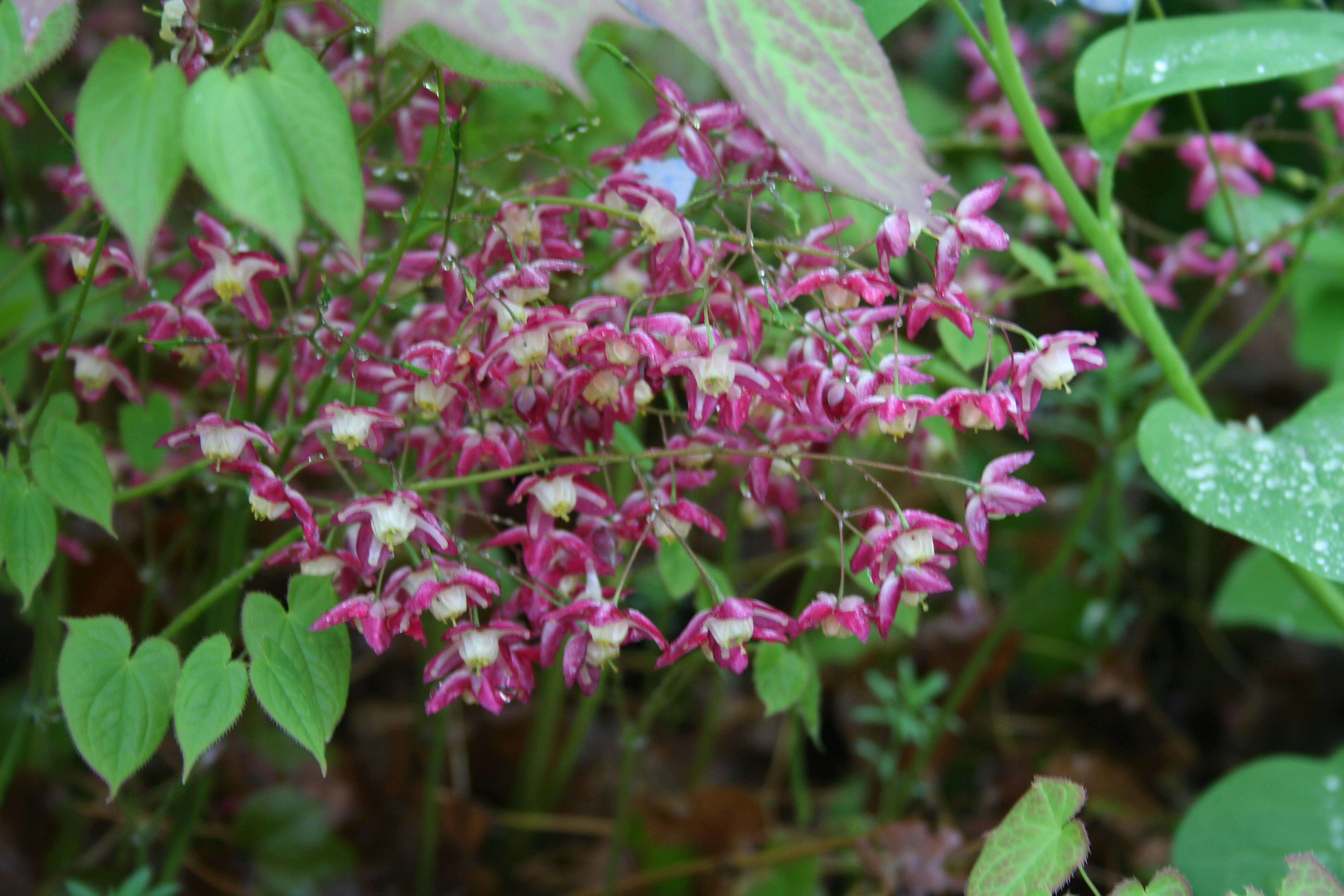 What s blooming 187 epimedium rubrum