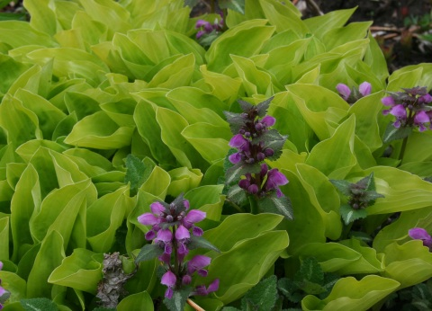 Hosta 'Shade Fanfare' and Lamium maculatum