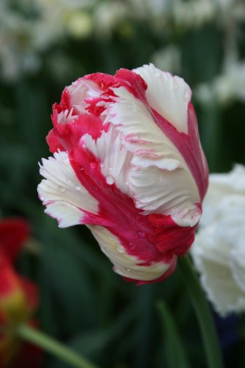Tulip Parrot 'Estella Rijnveld'