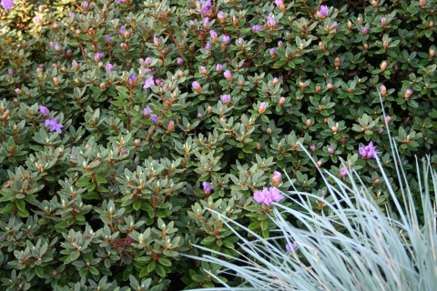 Rhododendron 'Purple Gem' and Blue Oat Grass