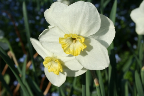 Narcissus still blooming