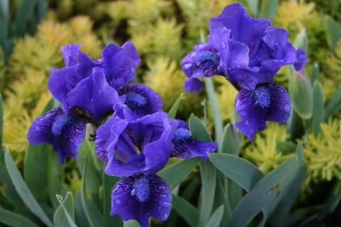 Iris pumila 'Yankee Skipper'