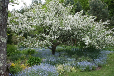 Malus sargentii 'Tina' and Forget-Me-Nots
