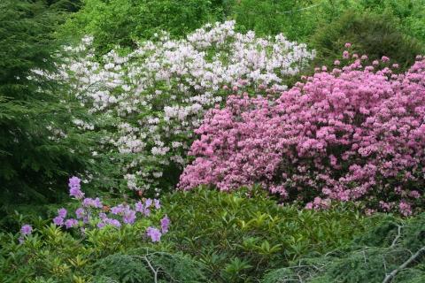 Rhododendron 'Aglo'