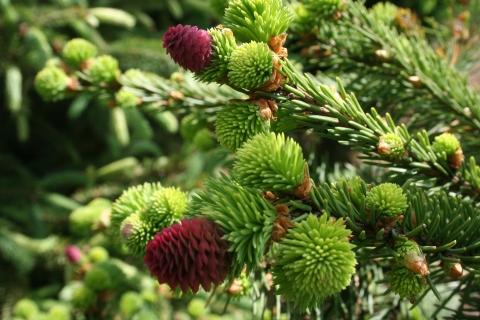 Picea abies 'Acrocona'