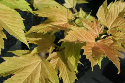 Acer pseudoplantanus 'Nizetti'