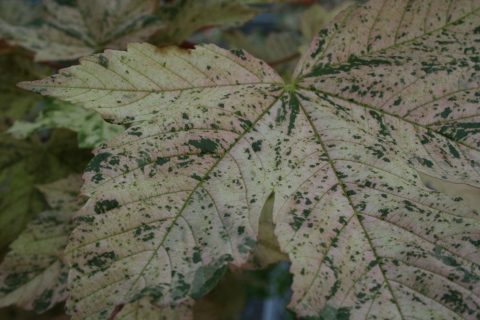 Acer pseudoplatanus 'Brilliantissimum'