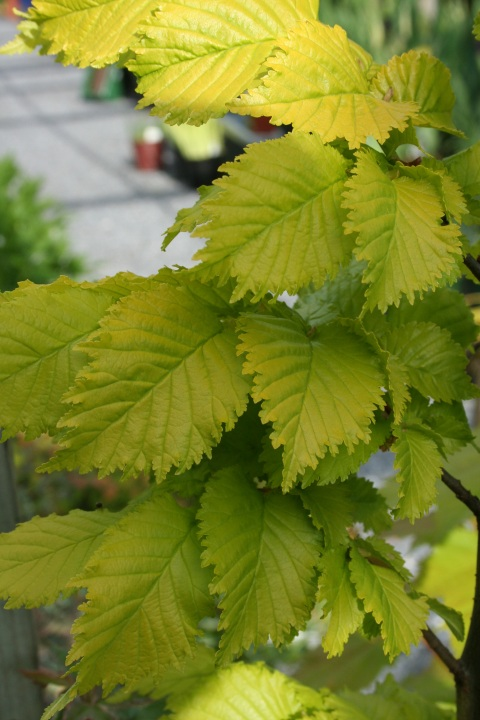 Ulmus x hollandica 'Wredei'