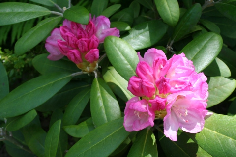 Rhododendron ??