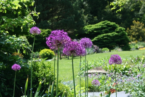 Allium aflatuense 'Purple Sensation'