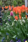 Tulips 'Ballerina'  (the orange ones)