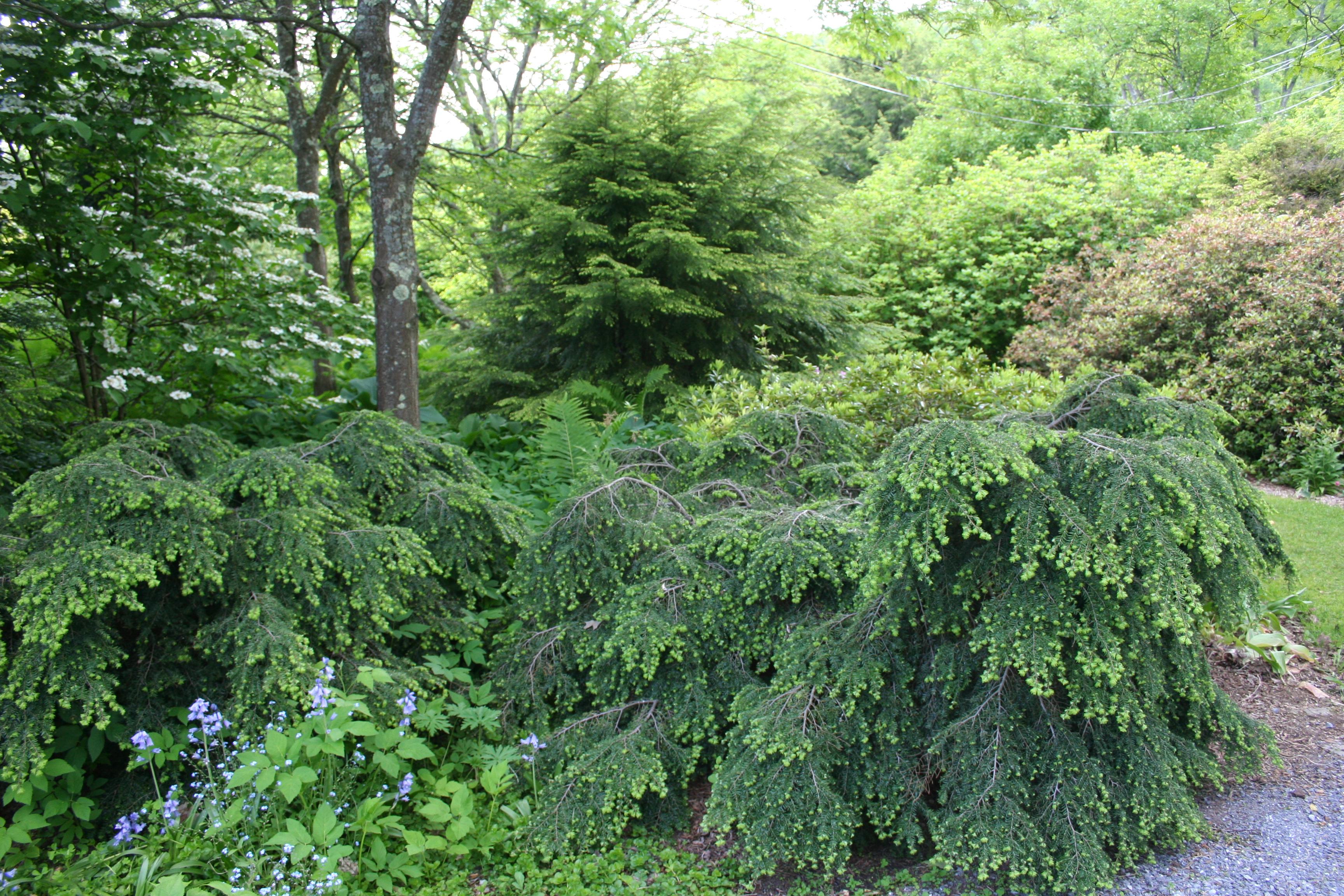 tsuga canadensis �bennett� rocky dale gardens