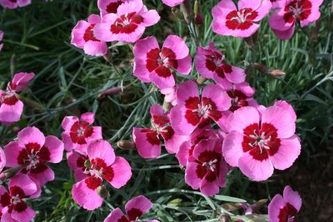 Dianthus 'Betty Morton'
