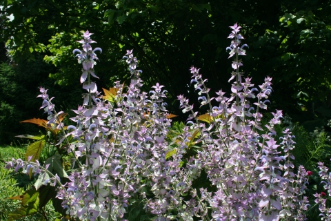 Salvia sclarea turkestanica