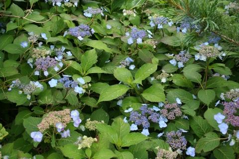 Hydrangea serrata 'Blue Billow'