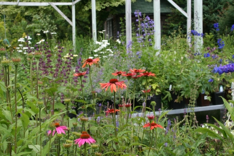 New Echinacea varieties