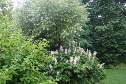 Aesculus parviflora with salix and hydrangea