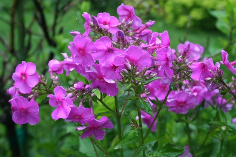 Phlox paniuclata cultivar unknown