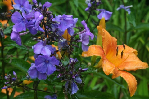 Phlox paniculata 'Blue Paradise' with Hemerocallis 'Rocket City'