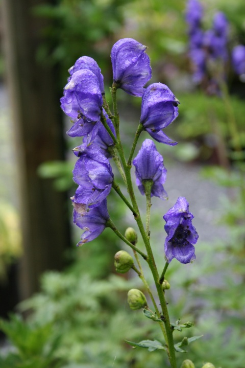 Aconitum x 'Blue Lagoon'