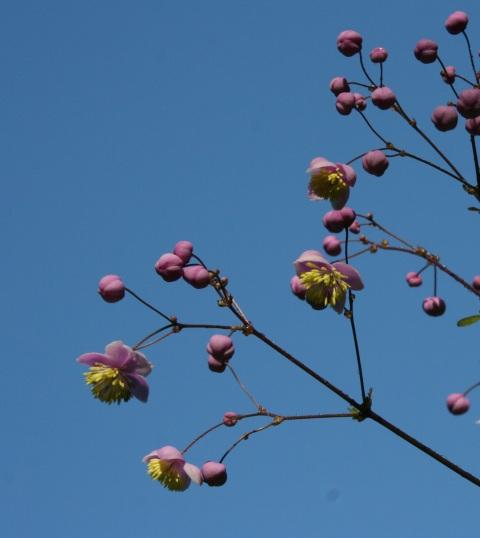 Thalictrum rochebrunianum 'Lavender Mist'