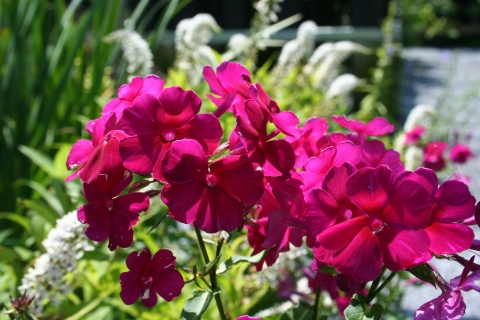 Phlox paniculata 'Red Super'