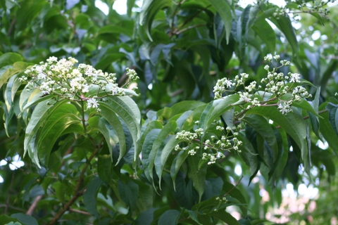 Heptacodium miconioides - Seven-Sons Flower.