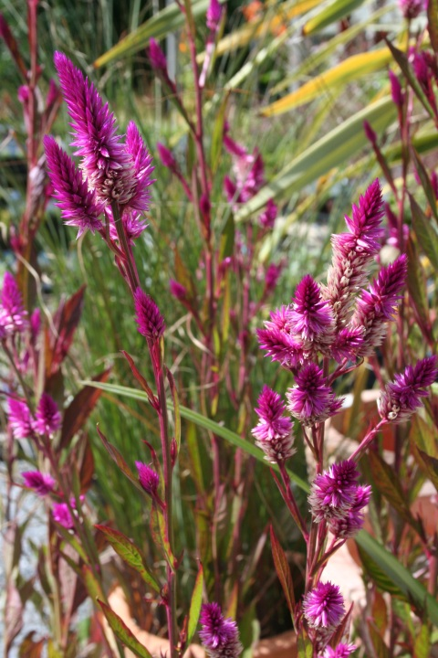 Annual Celosia 'Cramer's Amazon'