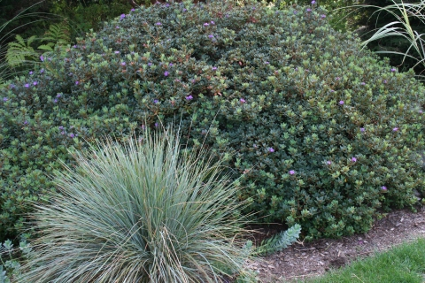 Helictotrichon sempirvirens with Rhododendron 'Ramapo'