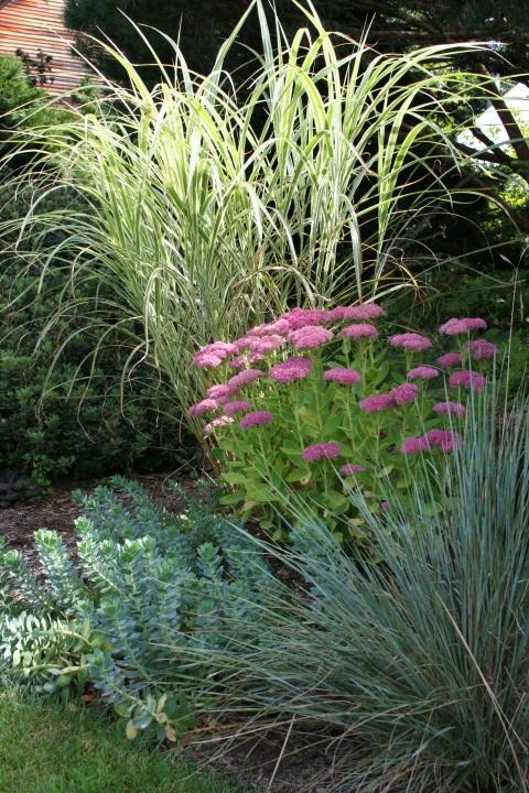 Miscanthus sinensis 'Variegatus', Helictotrichon sempirvirens, Sedum spectabile 'Brilliant' and Euphorbia myrsinites
