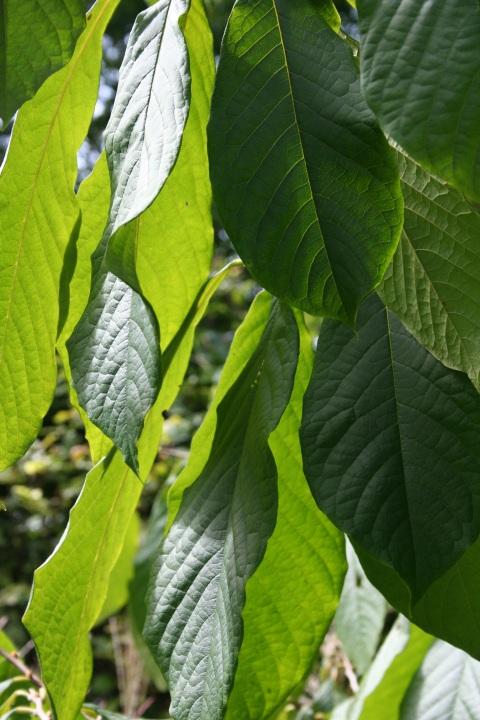 Asimina triloba - Paw Paw Tree