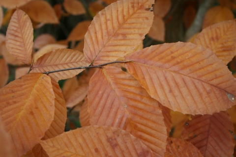 Carpinus or Fagus- we're not sure...