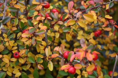 Cotoneaster apiculatas