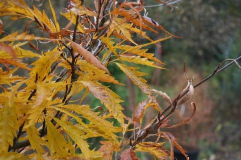 Fagus sylvatica 'Aspenifolia'