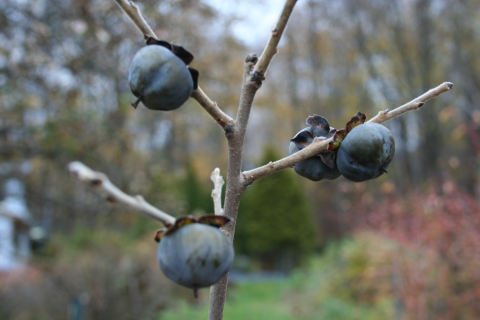 Persimmon fruit (Diospyros virginiana 'Meader')