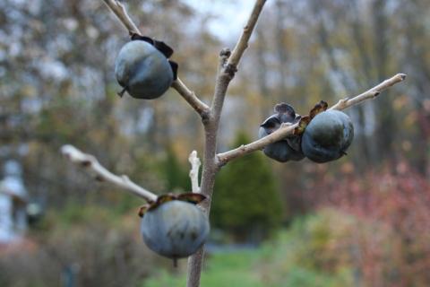 Persimmon fruit (Diospyros virginiana 'Meader')